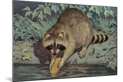 Raccoon Washing Corn--Mounted Art Print