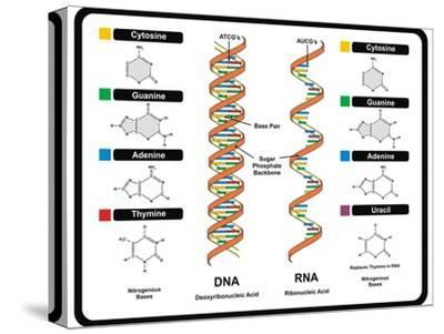 DNA and RNA-udaix-Stretched Canvas Print