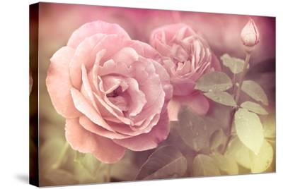 Abstract Romantic Pink Roses Flowers with Water Drops-Im Perfect Lazybones-Stretched Canvas Print