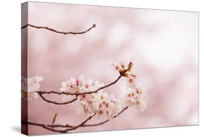 Spring Cherry Blossoms in Soft Spring Light-landio-Stretched Canvas Print