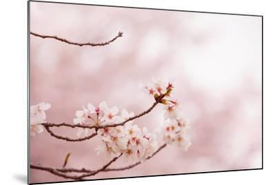 Spring Cherry Blossoms in Soft Spring Light-landio-Mounted Art Print
