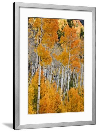 Aspen trees in autumn. Fishlake National Forest, Utah, USA-Scott T^ Smith-Framed Photographic Print