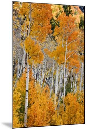 Aspen trees in autumn. Fishlake National Forest, Utah, USA-Scott T^ Smith-Mounted Photographic Print