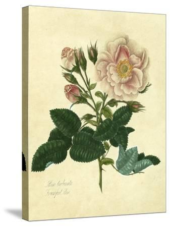Frankfort Rose-Mary Lawrence-Stretched Canvas Print
