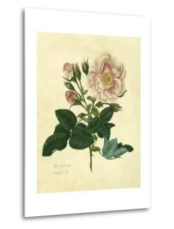 Frankfort Rose-Mary Lawrence-Metal Print