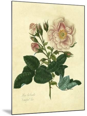 Frankfort Rose-Mary Lawrence-Mounted Art Print