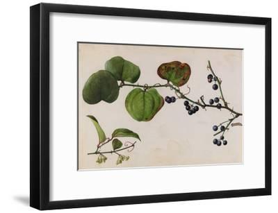 A Sprig of Roundleaf Greenbrier Shrub Blossoms and Berries-Mary E. Eaton-Framed Giclee Print