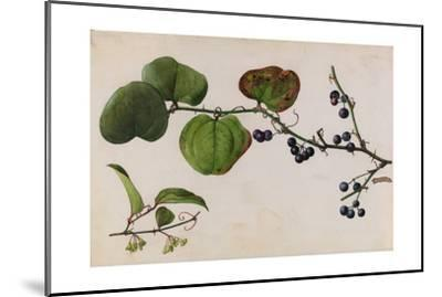 A Sprig of Roundleaf Greenbrier Shrub Blossoms and Berries-Mary E. Eaton-Mounted Giclee Print