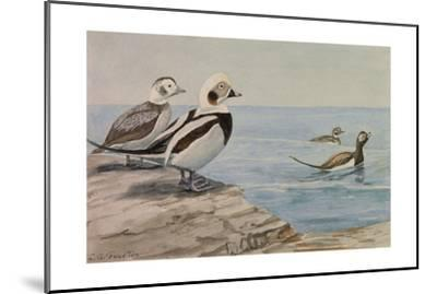 A Painting of Long-Tailed Ducks, Clangula Hyemalis-Louis Agassi Fuertes-Mounted Giclee Print