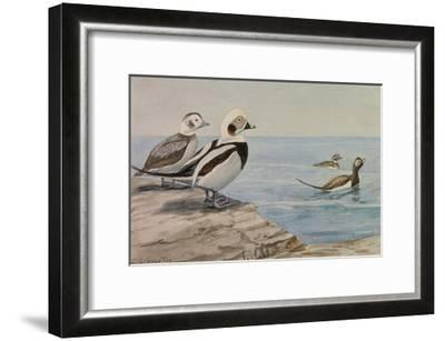 A Painting of Long-Tailed Ducks, Clangula Hyemalis-Louis Agassi Fuertes-Framed Giclee Print