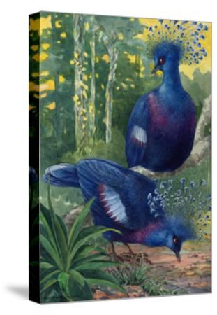 A View of the Flimsy Crests of Two Victoria Crowned Pigeons-Hashime Murayama-Stretched Canvas Print