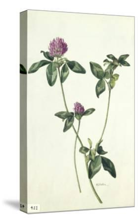 A Painting of a Sprig of Red Clover-Mary E. Eaton-Stretched Canvas Print