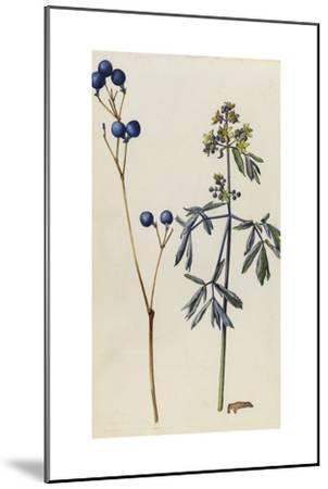 A Sprig of Blue Cohosh Plant Berries and Blossoms-Mary E. Eaton-Mounted Giclee Print