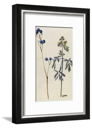 A Sprig of Blue Cohosh Plant Berries and Blossoms-Mary E. Eaton-Framed Giclee Print