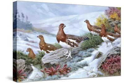 Willow Ptarmigans in Summer Plumage Leave Thicket to Search for Food-Walter A. Weber-Stretched Canvas Print