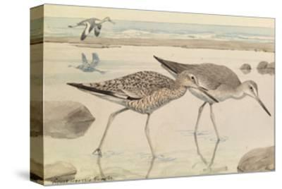 A Painting of Willets in Both Winter and Summer Plumage-Louis Agassi Fuertes-Stretched Canvas Print