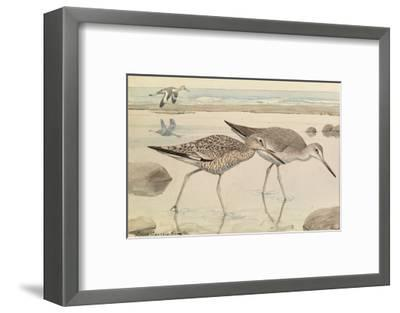 A Painting of Willets in Both Winter and Summer Plumage-Louis Agassi Fuertes-Framed Giclee Print