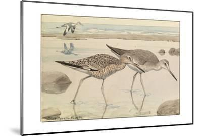 A Painting of Willets in Both Winter and Summer Plumage-Louis Agassi Fuertes-Mounted Giclee Print