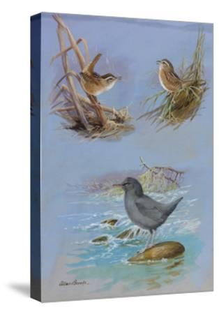 A Painting of an American Dipper, a Marsh Wren, and a Sedge Wren-Allan Brooks-Stretched Canvas Print