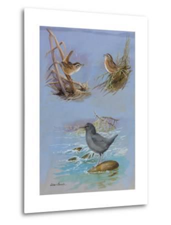 A Painting of an American Dipper, a Marsh Wren, and a Sedge Wren-Allan Brooks-Metal Print