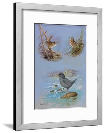 A Painting of an American Dipper, a Marsh Wren, and a Sedge Wren-Allan Brooks-Framed Giclee Print