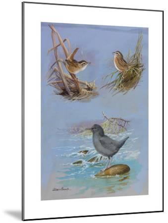 A Painting of an American Dipper, a Marsh Wren, and a Sedge Wren-Allan Brooks-Mounted Giclee Print