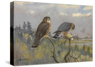 A Painting of an Adult Male and Immature Female Pigeon Hawk-Allan Brooks-Stretched Canvas Print