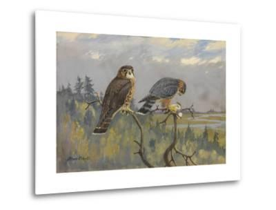 A Painting of an Adult Male and Immature Female Pigeon Hawk-Allan Brooks-Metal Print