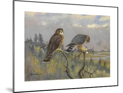 A Painting of an Adult Male and Immature Female Pigeon Hawk-Allan Brooks-Mounted Giclee Print
