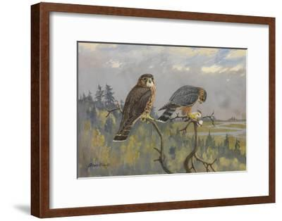 A Painting of an Adult Male and Immature Female Pigeon Hawk-Allan Brooks-Framed Giclee Print
