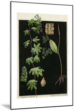 Painting of Southern Adderstongue and American Climbing Fern-E.J. Geske-Mounted Giclee Print