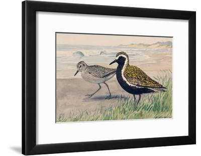 A Painting of Two Golden Plovers in Winter and Summer Plumage-Louis Agassi Fuertes-Framed Giclee Print