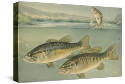 A Painting of Largemouth Bass (Upper) and Smallmouth Black Bass-Hashime Murayama-Stretched Canvas Print