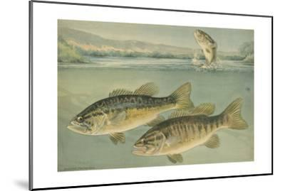 A Painting of Largemouth Bass (Upper) and Smallmouth Black Bass-Hashime Murayama-Mounted Giclee Print