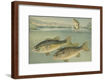 A Painting of Largemouth Bass (Upper) and Smallmouth Black Bass-Hashime Murayama-Framed Giclee Print