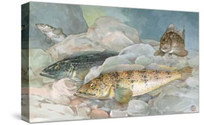 Ling Codfish Change Color to Fit its Surroundings-Hashime Murayama-Stretched Canvas Print