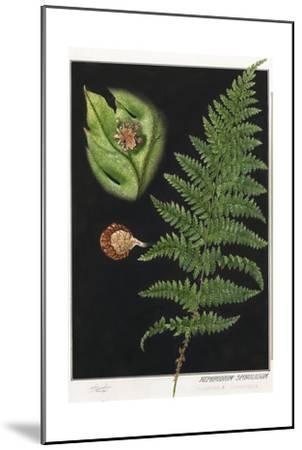 Painting of a Intermediate Woodfern, Dryopteris Intermedia-E.J. Geske-Mounted Giclee Print