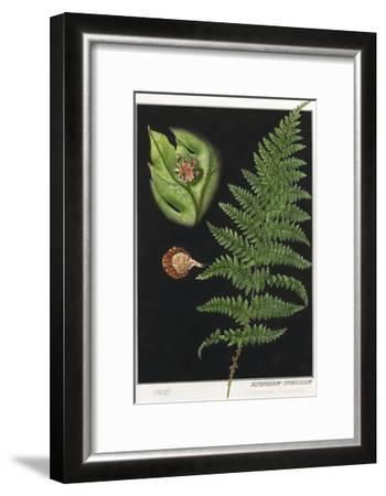 Painting of a Intermediate Woodfern, Dryopteris Intermedia-E.J. Geske-Framed Giclee Print