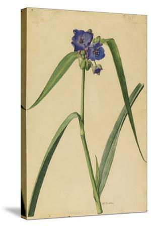 This Plant Is a Member of the Spiderwort Family-Mary E. Eaton-Stretched Canvas Print