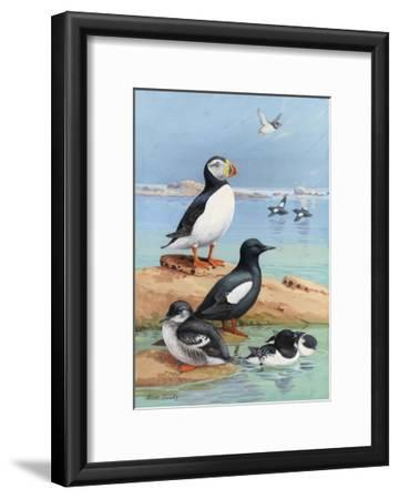 A Painting of an Atlantic Puffin, Black Guillemots, and Dovekies-Allan Brooks-Framed Giclee Print