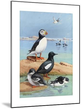 A Painting of an Atlantic Puffin, Black Guillemots, and Dovekies-Allan Brooks-Mounted Giclee Print