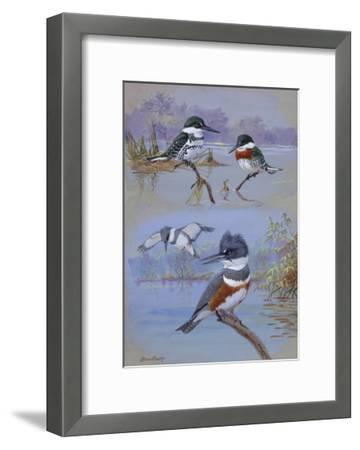 A Painting of Two Belted Kingfishers and Two Texas Green Kingfishers-Allan Brooks-Framed Giclee Print