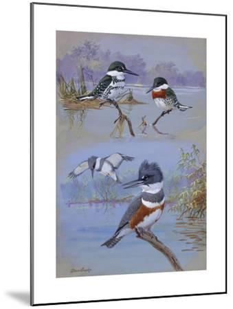 A Painting of Two Belted Kingfishers and Two Texas Green Kingfishers-Allan Brooks-Mounted Giclee Print