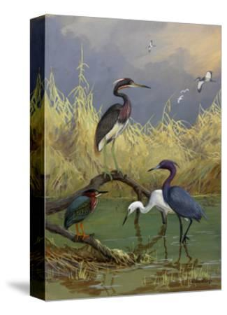 Various Herons Feed in Shallow Water-Allan Brooks-Stretched Canvas Print