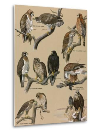 A Painting Portraying Various Species of Hawks-Louis Agassi Fuertes-Metal Print