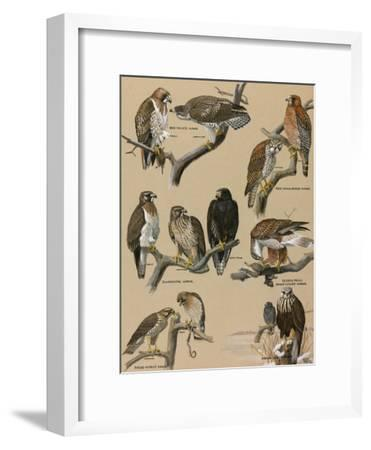 A Painting Portraying Various Species of Hawks-Louis Agassi Fuertes-Framed Giclee Print