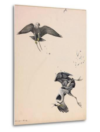A Painting of a Falcon Striking a Heron in Midair-Louis Agassi Fuertes-Metal Print