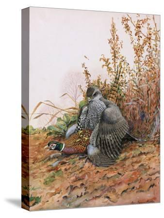 A Painting of a Goshawk as it Attacks a Pheasant-Louis Agassi Fuertes-Stretched Canvas Print