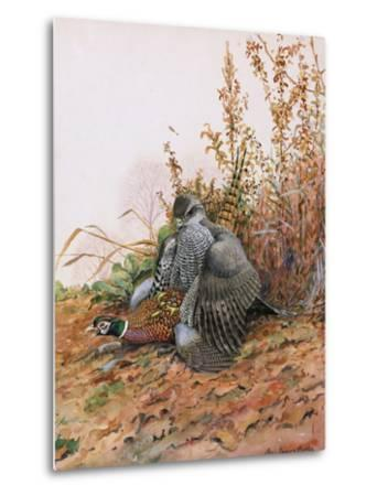 A Painting of a Goshawk as it Attacks a Pheasant-Louis Agassi Fuertes-Metal Print