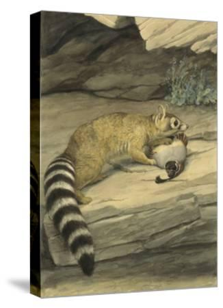 A Ring-Tailed Cat Stands with Paw on it's Prey, a Quail-Louis Agassi Fuertes-Stretched Canvas Print